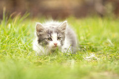 Маленький котенок играя в траве Стоковое фото RF