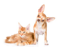Маленький кот щенка и енота Мейна совместно Изолированный на задней части белизны Стоковая Фотография RF