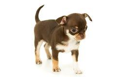 Маленький красивый щенок Стоковое фото RF