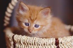 Милый красный котенок сидя в корзине Стоковые Фотографии RF