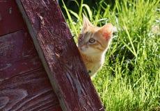 Маленький красный котенок peeking из деревянного красного экрана, смотря прочь Стоковое Фото