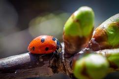 Маленький красный ladybird 1 Стоковые Изображения RF