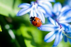 Маленький красный ladybird 1 Стоковая Фотография