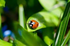 Маленький красный ladybird 2 Стоковая Фотография RF