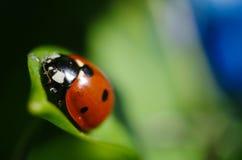 Маленький красный ladybird 3 Стоковое Изображение