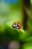 Маленький красный ladybird 3 Стоковая Фотография