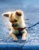 Маленький очаровательный прелестный щенок чихуахуа на запачканной предпосылке Сидеть на том основании Стоковые Фото