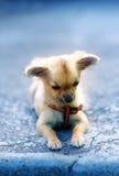 Маленький очаровательный прелестный щенок чихуахуа на запачканной предпосылке Сидеть на том основании Стоковое Фото