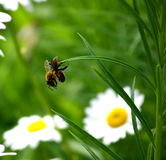 Маленький паук, большой вид пчелы на траве Стоковое Изображение