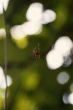 Маленький паук в своей сети Стоковые Фото