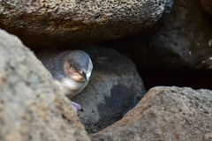 Маленький пингвин на пристани St Kilda в Виктории Стоковая Фотография