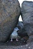 Маленький пингвин на пристани St Kilda в Виктории Стоковое Изображение RF