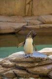 Маленький пингвин на Gold Coast в Австралии Стоковые Фото