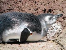 Маленький пингвин отдыхая на его Tummy на утесе Стоковые Фотографии RF