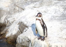 Маленький пингвин Стоковая Фотография