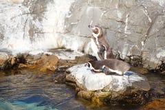 Маленький пингвин Стоковые Изображения RF