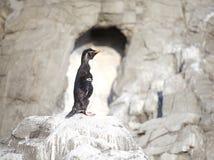 Маленький пингвин Стоковые Изображения