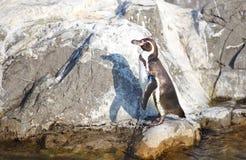 Маленький пингвин Стоковая Фотография RF