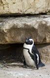 Маленький пингвин Стоковые Фото