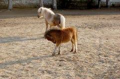Маленький пони в paddock Стоковое Фото