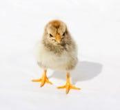 Маленький пушистый цыпленок стоковые изображения