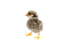 Маленький пушистый цыпленок стоковое изображение