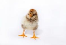 Маленький пушистый цыпленок стоковое фото