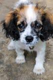 Маленький пушистый щенок на цементе Стоковое Фото