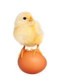 Маленький пушистый newborn цыпленок Стоковое фото RF