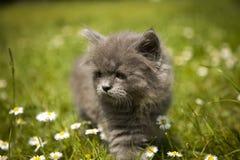 Маленький серый котенок играя в траве Стоковые Фотографии RF