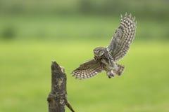 Маленький сыч, noctua Athene, охотясь в полете распространил крыла Стоковые Фотографии RF