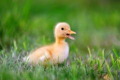 Маленький утенок на зеленой траве Стоковое фото RF