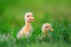 Маленький утенок 2 на зеленой траве Стоковое Фото