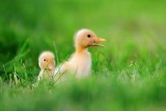 Маленький утенок 2 на зеленой траве Стоковое Изображение
