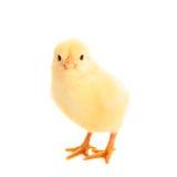 Маленький цыпленок изолированный на белизне стоковое фото