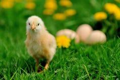 Маленький цыпленок на траве Стоковое Изображение RF