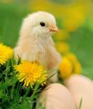 Маленький цыпленок на траве Стоковое Изображение