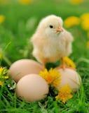 Маленький цыпленок на траве Стоковые Изображения
