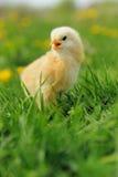 Маленький цыпленок на траве Стоковые Фотографии RF
