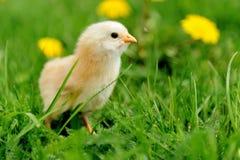 Маленький цыпленок на траве Стоковые Изображения RF