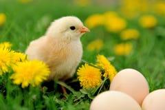 Маленький цыпленок на траве Стоковая Фотография RF