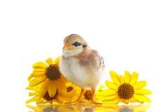 Маленький цыпленок с маргаритками стоковые фотографии rf