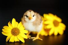 Маленький цыпленок с маргаритками стоковое изображение rf