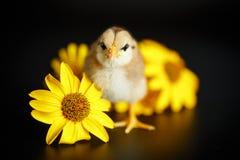 Маленький цыпленок с маргаритками стоковое изображение