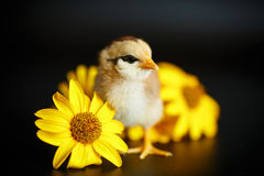 Маленький цыпленок с маргаритками стоковое фото rf