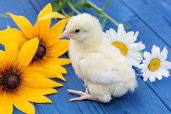 Маленький цыпленок с цветком на голубой деревянной доске Стоковые Фотографии RF