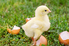 Маленький цыпленок с eggshell на траве Стоковое фото RF