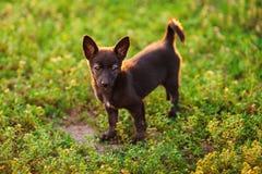 Маленький черный щенок стоит на зеленом луге стоковое изображение rf