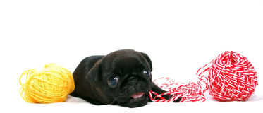 Маленький черный щенок Mopsa играет с шариком пряжи шерстей стоковые изображения