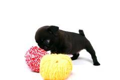 Маленький черный щенок Mopsa пахнет шариком пряжи шерстей стоковые фотографии rf
